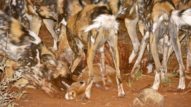 Vilde hunde æder impala i Madikwe, Sydafrika.