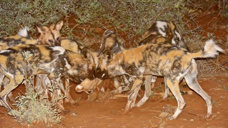 Vilde hunde i Madikwe.