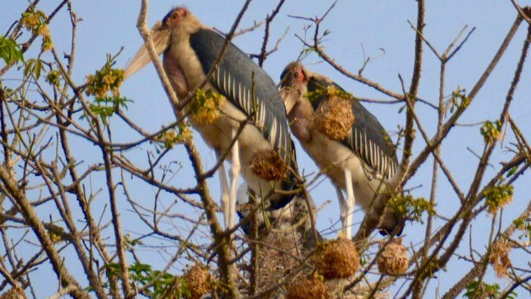Marabustorke i Gambia.