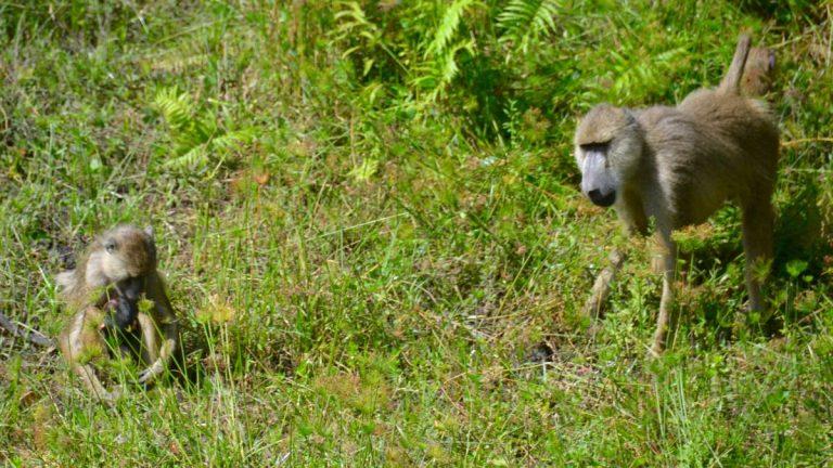 Gule bavianer i Shimba Hills.