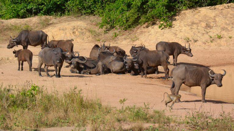 Kafferbøfler i Shimba Hills.