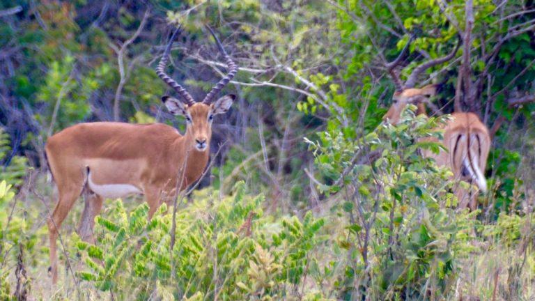 Impalaer i Shimba Hills.