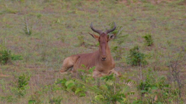 Koantilope i Shimba Hills.