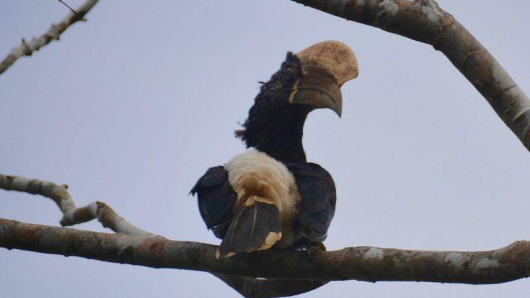 Sølvkindet hornfugl i Shimba Hills.
