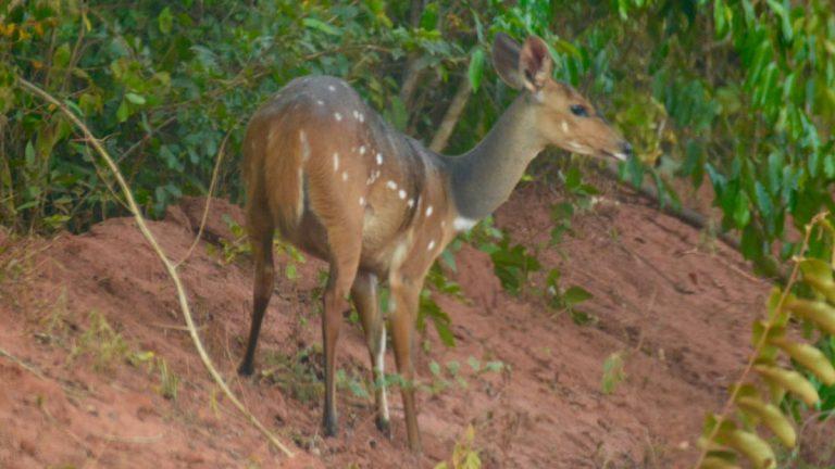 Skriftantilope i Shimba Hills.