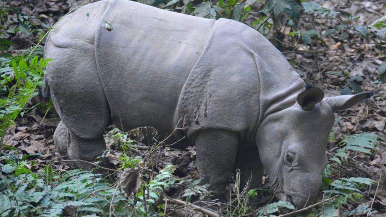 Pansernæsehorn unge i Chitwan.
