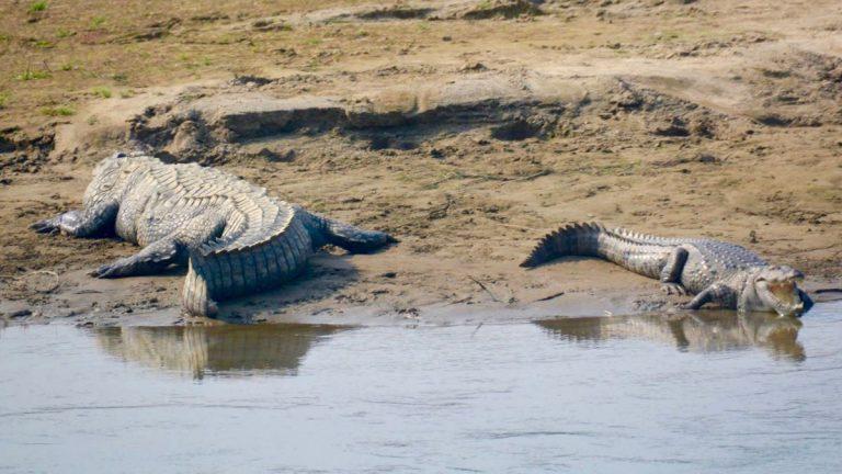 Sumpkrokodiller i Chitwan.