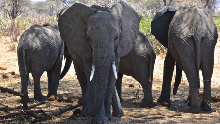Elefanter i Ruaha, Tanzania.
