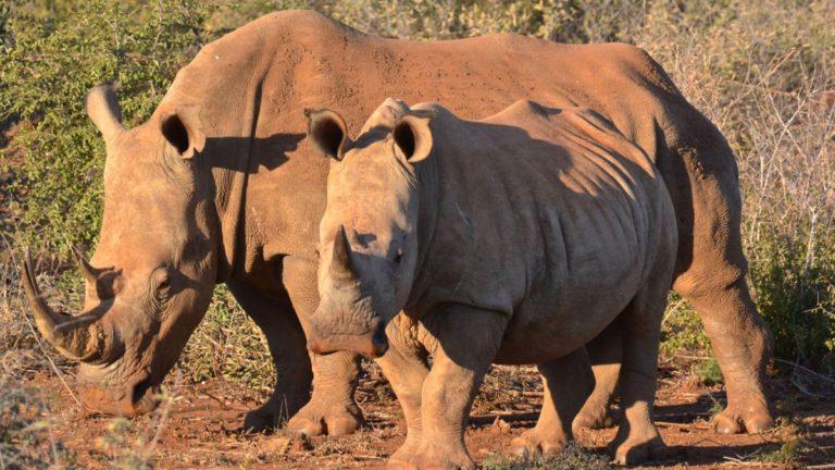 Hvide næsehorn i Madikwe, Sydafrika.