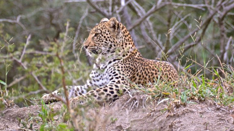 Leopard i Manyeleti, Sydafrika.