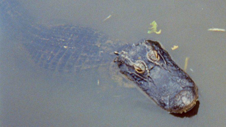 Alligator i Everglades.