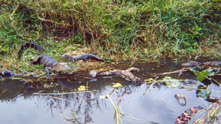 Alligatorer i Everglades.