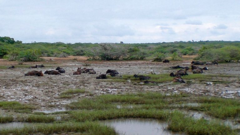 Vandbøfler i Udawalawe.