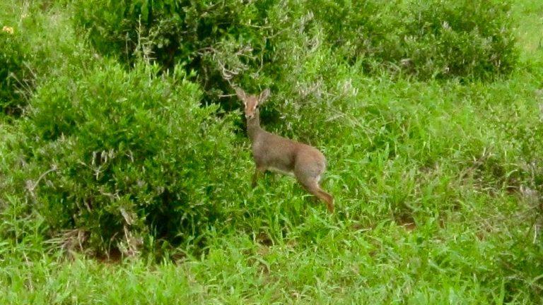 Dik-dik antilope.