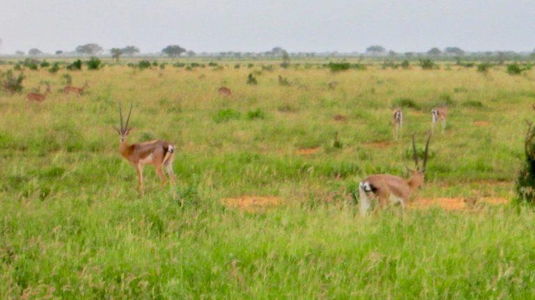 Grants gazeller.