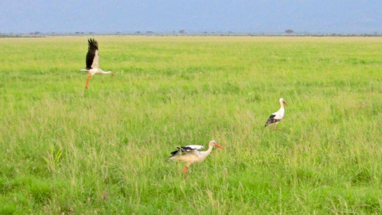 Hvide storke.