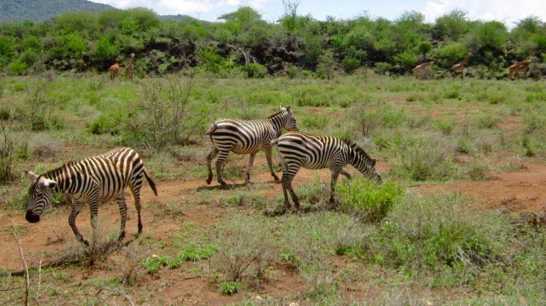 Zebraer og giraffer.