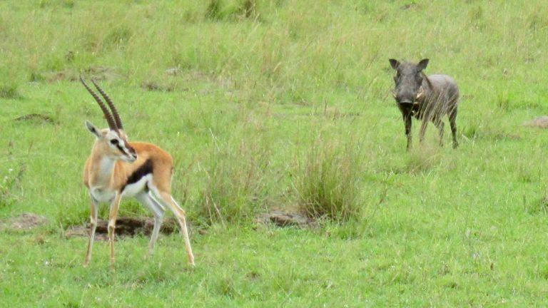 Thompson's antilope og vortesvin.