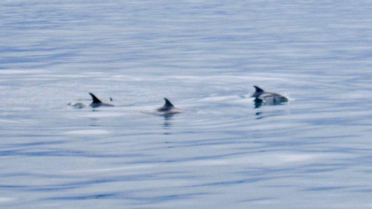 Hvidnæsede delfiner, Reykjavik.