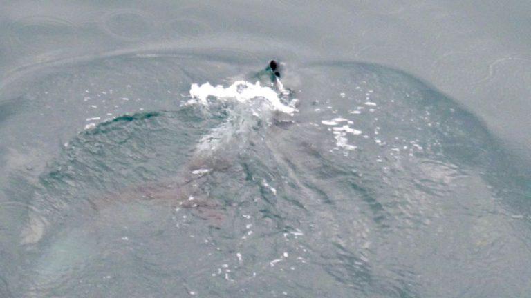 Hvidnæset delfin, Reykjavik.