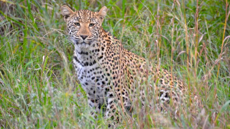 Leopard i Manyeleti.