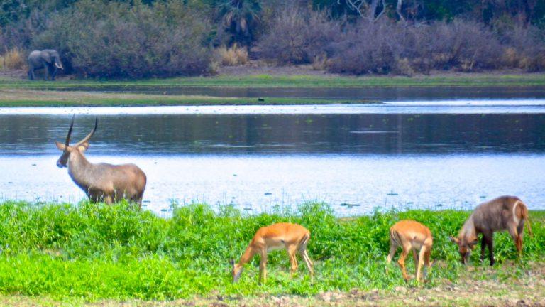 Vandbuk, impalaer og elefant.