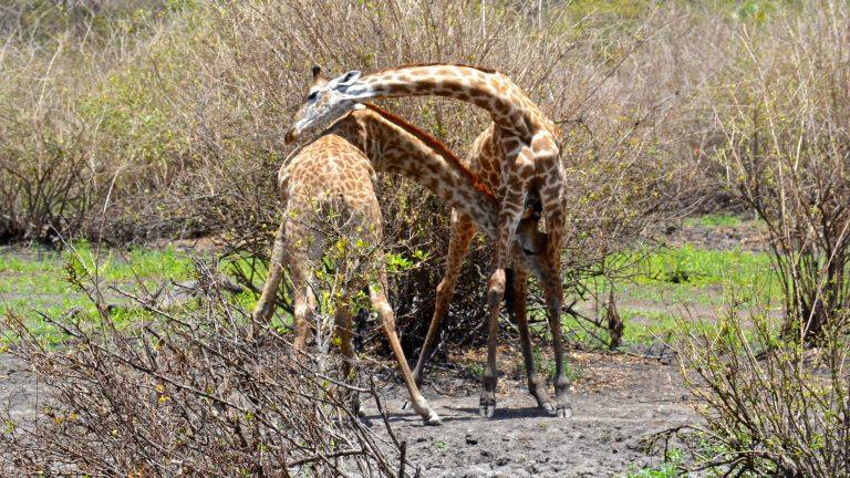 Masaigiraffer.