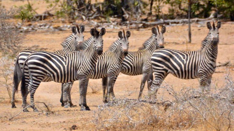 Zebraer.