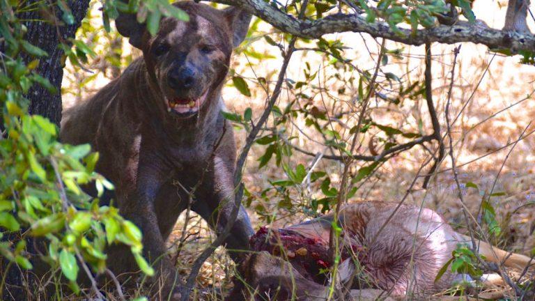 Hyæne æder impala i Selous.