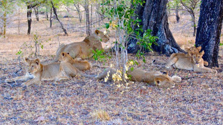 Løve i Selous.