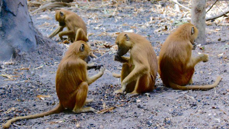 Guineabavianer i Makasutu.