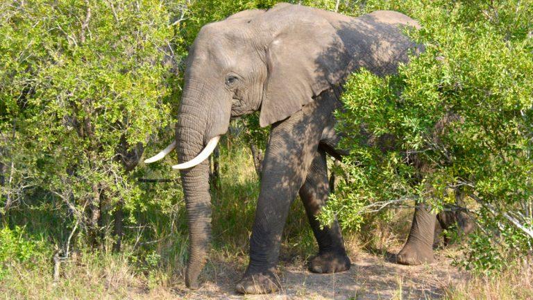 Elefant.