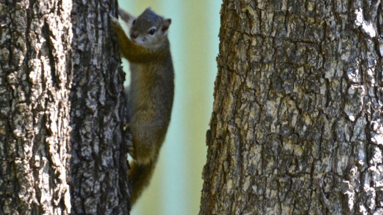 Træegern (Smiths bush squirrel)