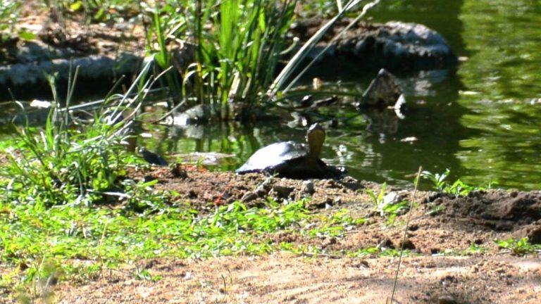 Ferskvandsskildpadde.