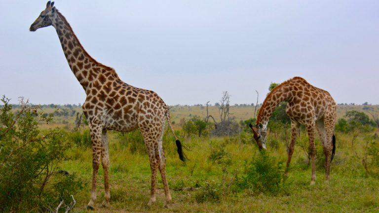 Giraffer.