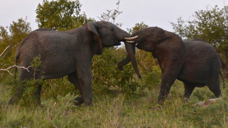 Elefanter i klammeri.