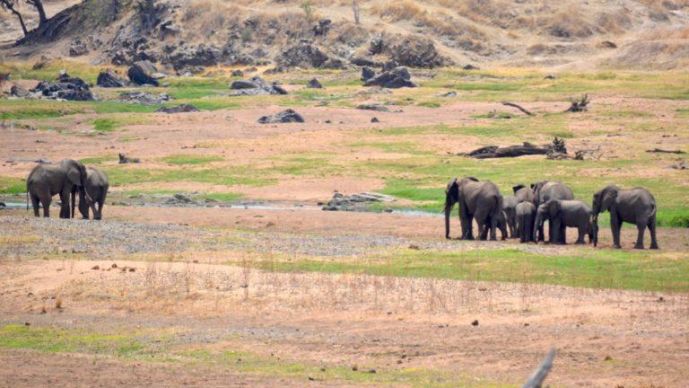 151014_17Ruaha_elefanter