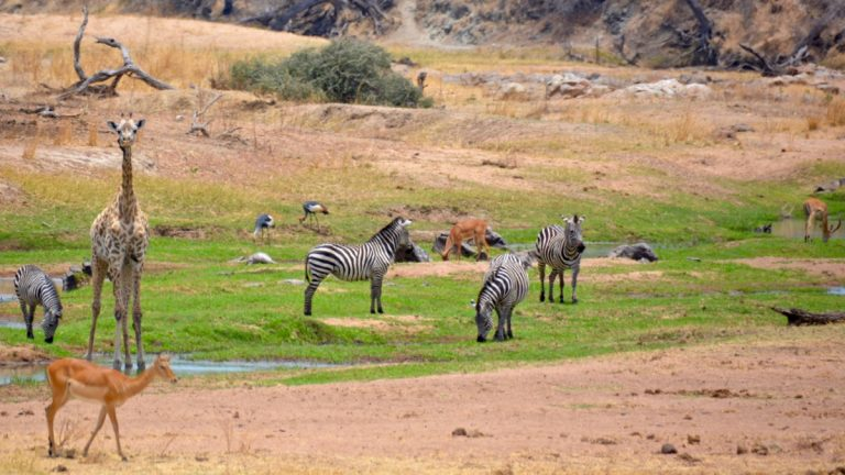 Zebraer, impalaer, giraffer.