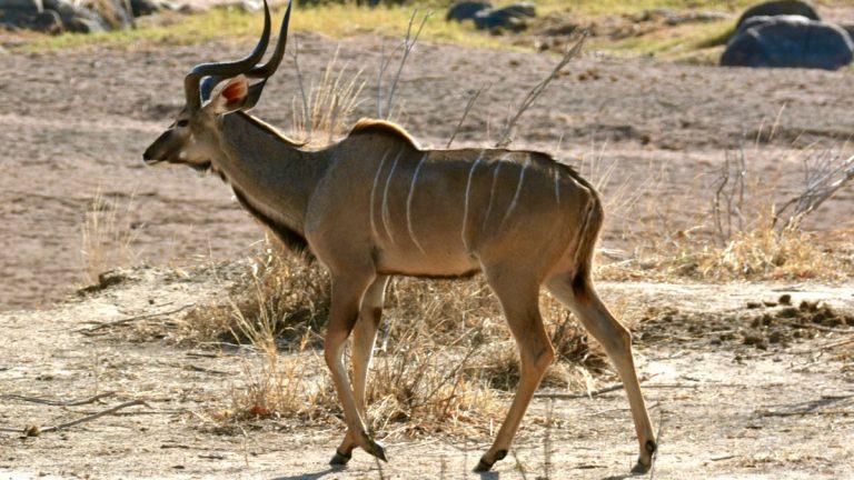 Stor kudu, han.