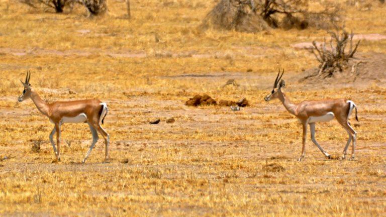 Grant's gazeller.