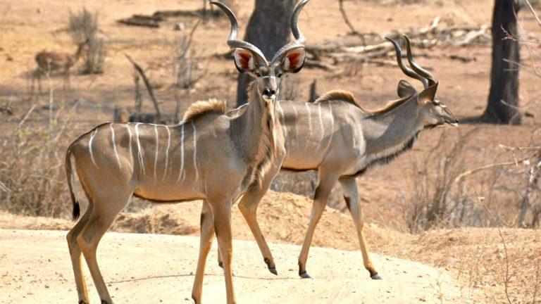 Store kuduer, hanner.