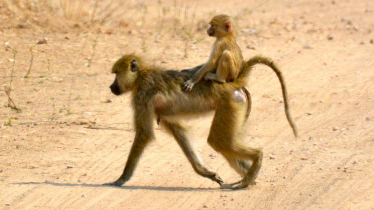Gule bavianer.