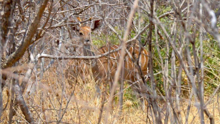 Lille kudu.