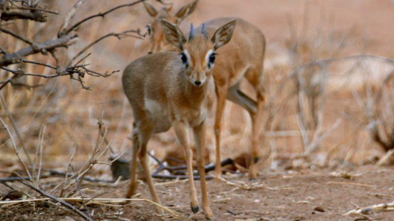 Dik-dik antiloper