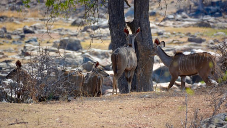 Store kuduer, hunner.
