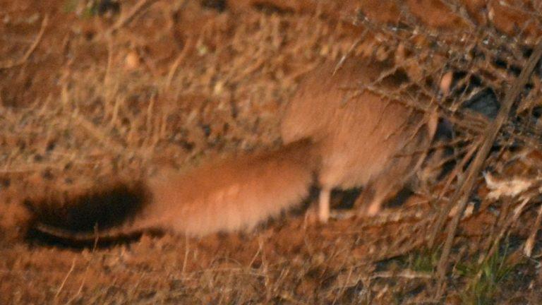 Sydafrikansk springhare.