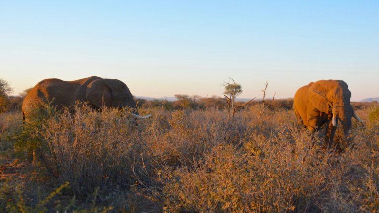 Hanelefanter.