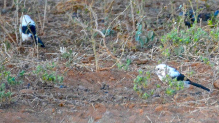 Sort-hvide larmdrosler.