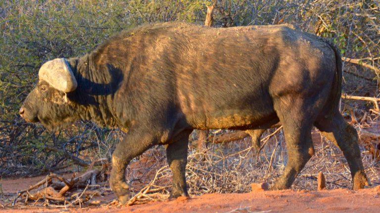 Kafferbøffel.
