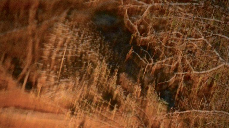 Sydafrikansk hulepindsvin.
